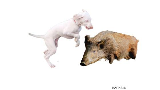Rajapalayam Dog hunting boar
