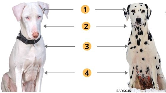 Picture comparing attributes of Rajapalayam dog with DaDalmatian dog