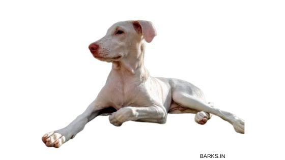 Rajapalayam dog lying down
