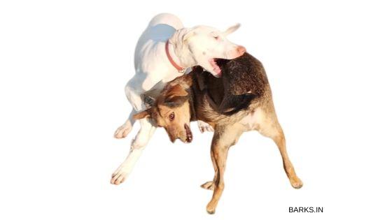 Rajapalayam dog play fighting