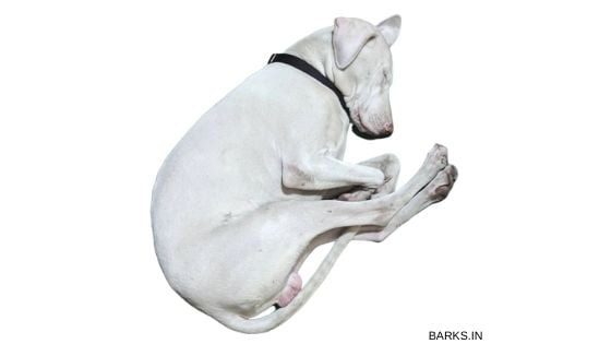 Rajapalayam dog ignored by people and sleeping
