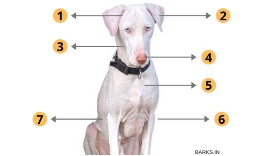 Rajapalayam dog's physical traits