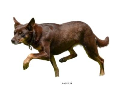 Alert Kelpie dog