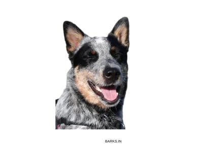 Australian Cattle Dog Happy