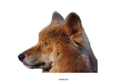 Australian Dingo Profile
