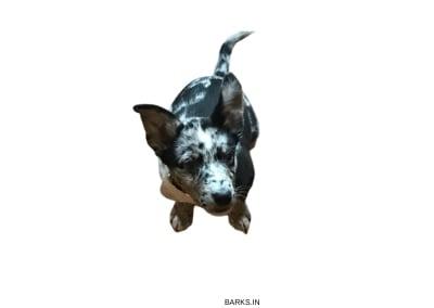 Australian Koolie puppy