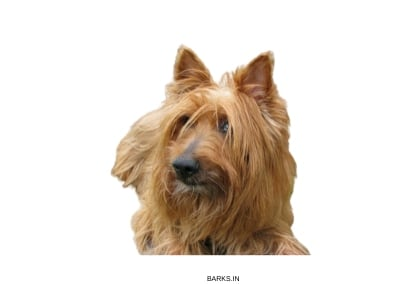 Australian Terrier dog profile