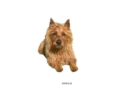 Australian Terrier front profile