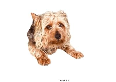 Australian Terrier front