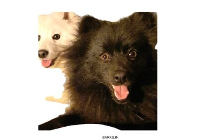 Black and white Indian Spitz