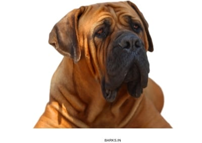 Boerboel on guard