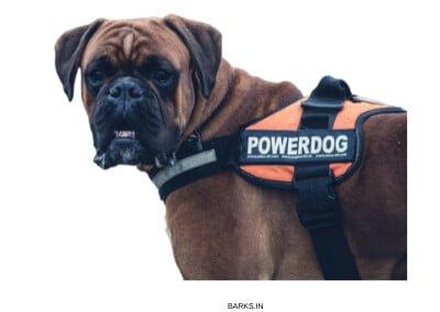 Boxer Angry