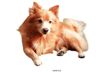 Brown Indian Spitz lying down