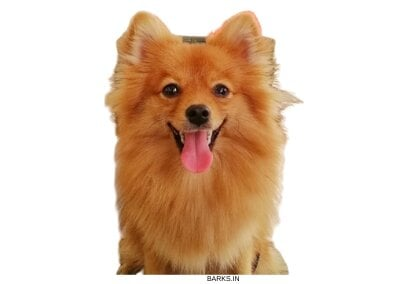 Brown Indian Spitz waiting for grooming
