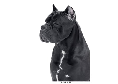 Cane Corso on Guard