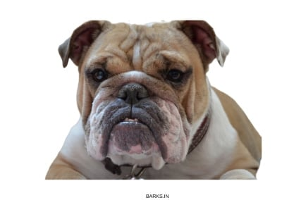 English Bulldog angry