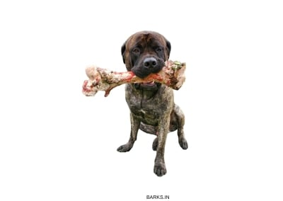 English Mastiff with a bone