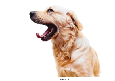 Golden Retriever with open mouth