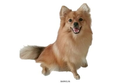 Golden brown Indian Spitz