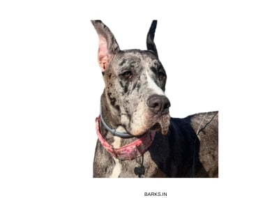 Great Dane Alert