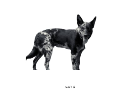 Hall Heeler black and white photo