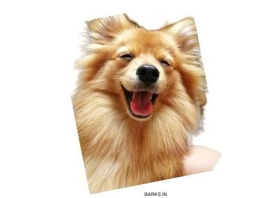 Happy brown Indian Spitz