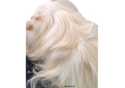 Indian Spitz hair