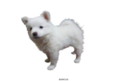 Indian Spitz semi adult