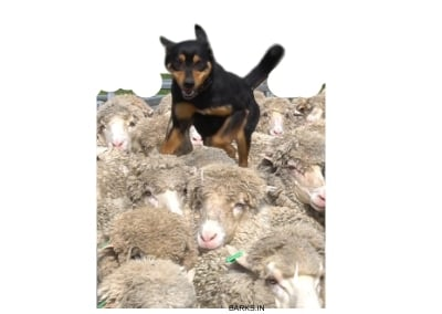Kelpie on sheep