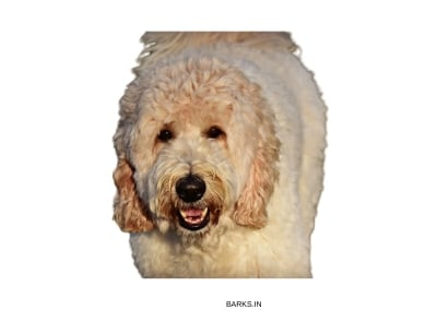 Labradoodle Adult