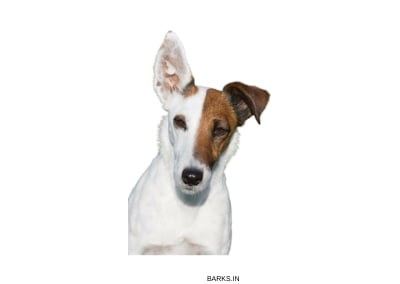 Miniature Fox Terrier Profile