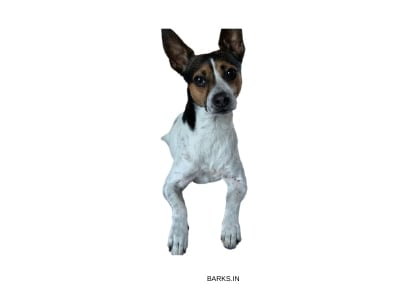 Miniature Fox Terrier black