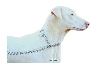 Rajapalayam dog on guard