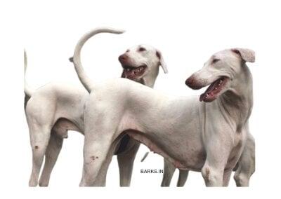 Rajapalayam dog pair