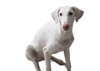 Rajapalayam dog semi adult