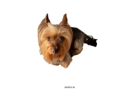 Silky Terrier Face