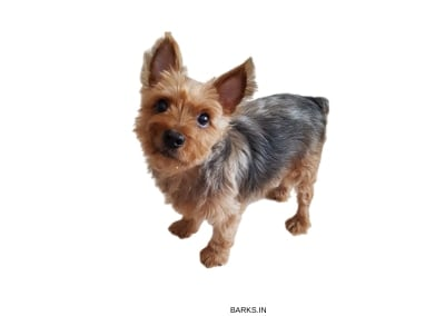 Silky Terrier profile