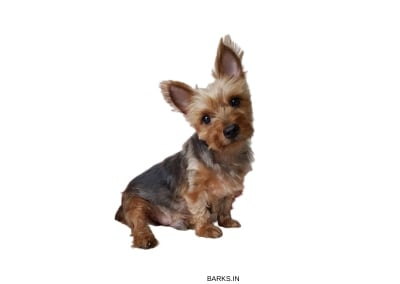 Silky Terrier sitting