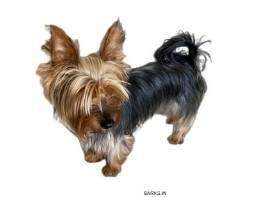 Silky Terrier standing