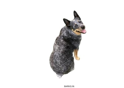Stumpy tail cattle dog profile