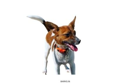 Tenterfield Terrier standing