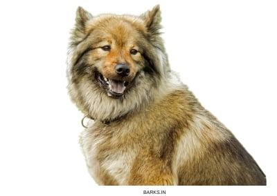 Wolfdog Hybrid Alert