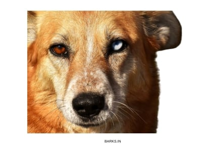 Africanis Dog profile