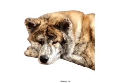 Akita Inu Sleeping
