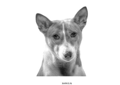 Basenji Dogs Alert