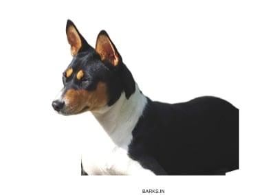 Basenji Dogs Tricolor