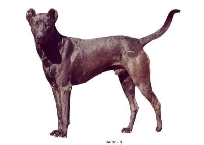 Black Pandikona dog