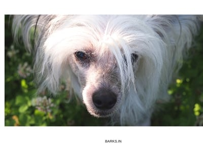 Chinese Crested White