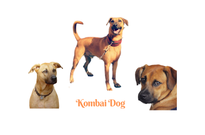 Kombai (Combai) dog. Pictures, traits, and more