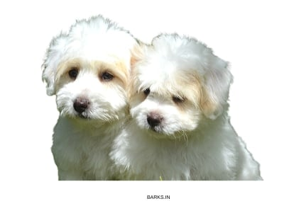 Coton Tulear Puppies cute